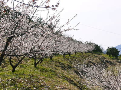 山あいの南高梅 花咲く様子!今年はかなり開花が早いんです!!_a0254656_17522064.jpg