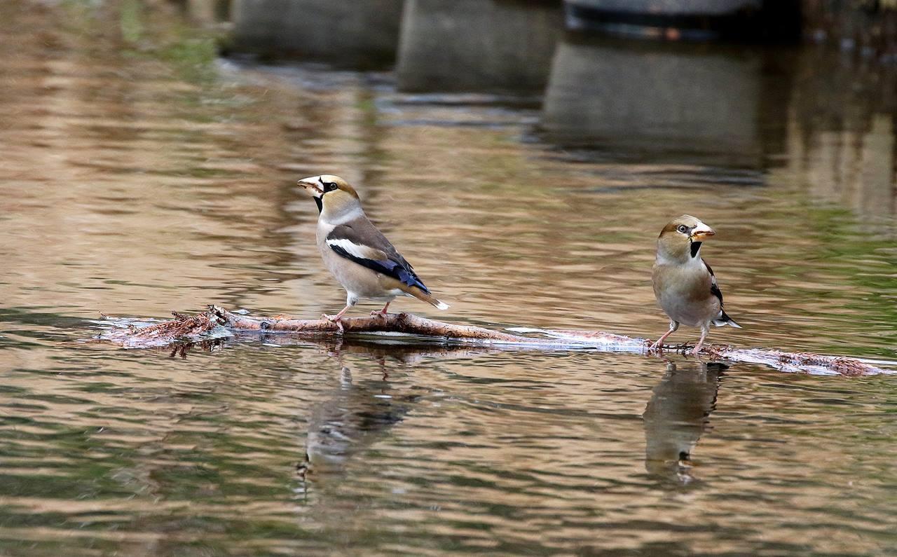 小さな水路でシメの群れが(その2)・・・_c0213607_21595035.jpg