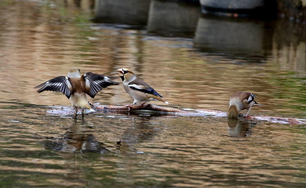 小さな水路でシメの群れが(その2)・・・_c0213607_21595443.jpg