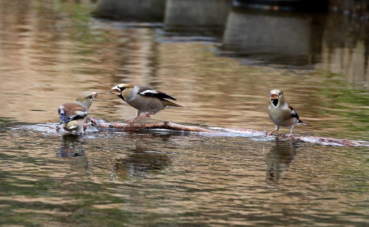 小さな水路でシメの群れが(その2)・・・_c0213607_22000693.jpg