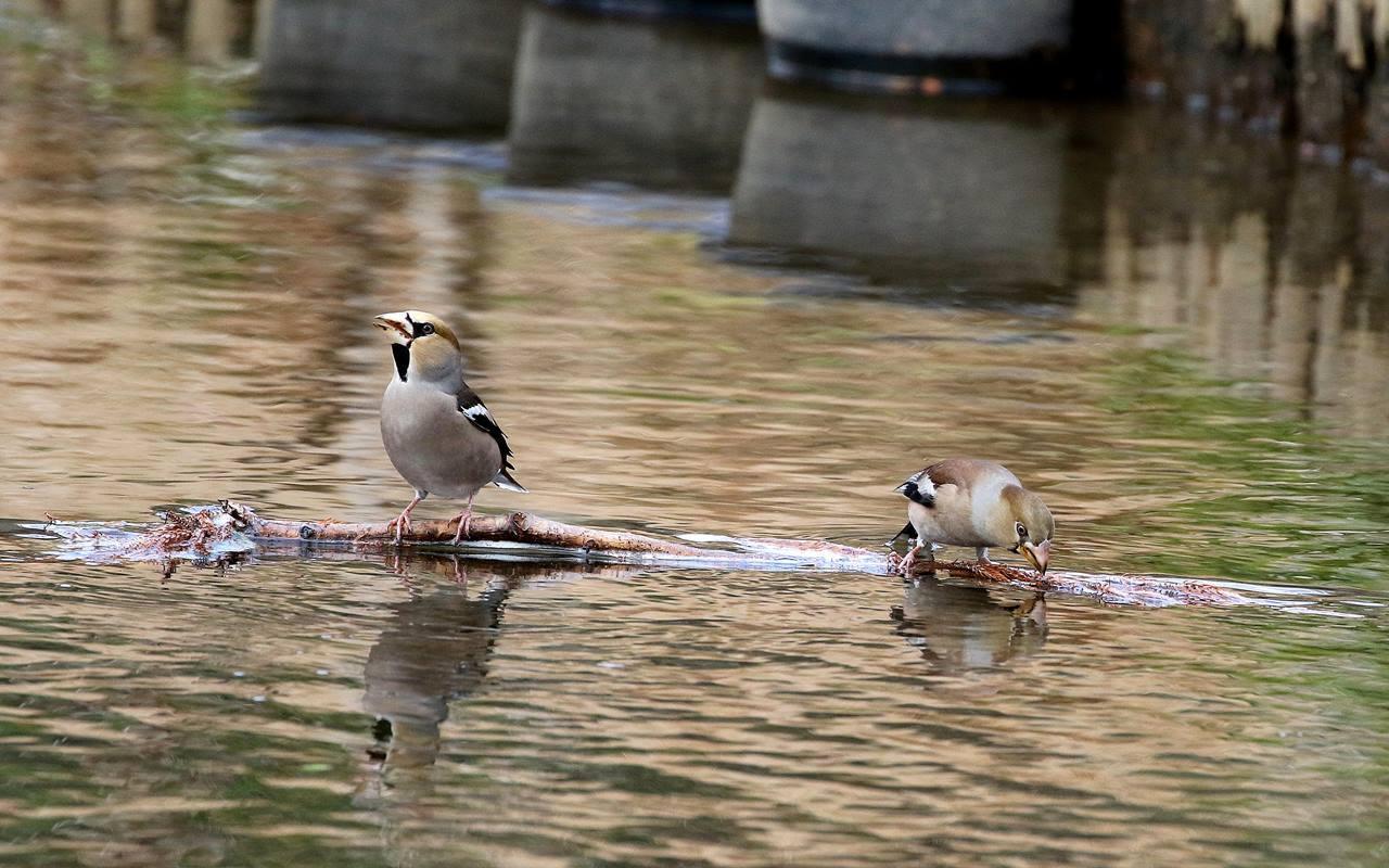 小さな水路でシメの群れが(その2)・・・_c0213607_22001591.jpg