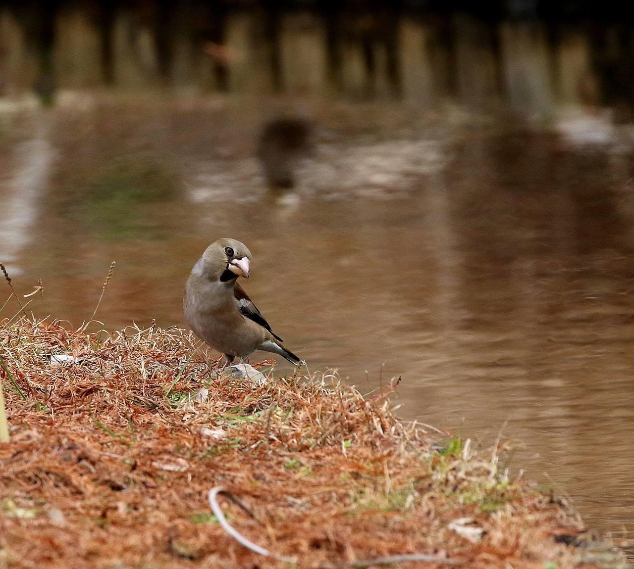 小さな水路でシメの群れが(その2)・・・_c0213607_22001985.jpg