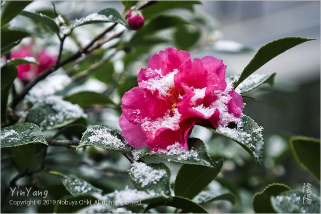 山茶花と雪、東京_e0139738_14083706.jpg