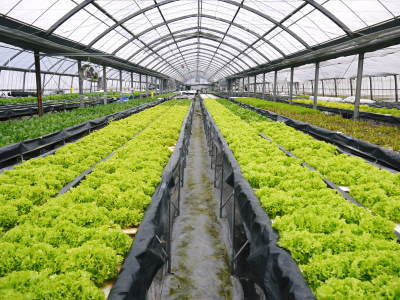 水耕栽培の生野菜を大好評販売中!さらなる高みを求め肥料改良!農薬や消毒を一切せずにてた各種生野菜です_a0254656_18101752.jpg