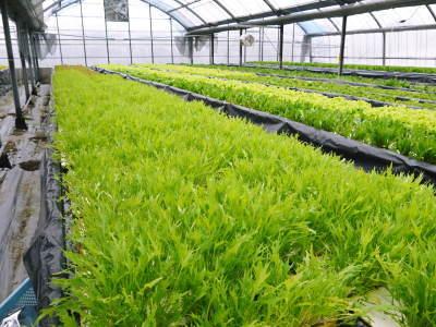 水耕栽培の生野菜を大好評販売中!さらなる高みを求め肥料改良!農薬や消毒を一切せずにてた各種生野菜です_a0254656_18113057.jpg