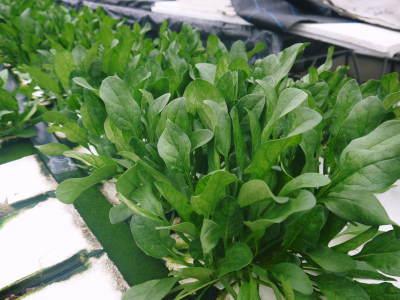 水耕栽培の生野菜を大好評販売中!さらなる高みを求め肥料改良!農薬や消毒を一切せずにてた各種生野菜です_a0254656_18225206.jpg
