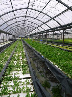 水耕栽培の生野菜を大好評販売中!さらなる高みを求め肥料改良!農薬や消毒を一切せずにてた各種生野菜です_a0254656_18274473.jpg