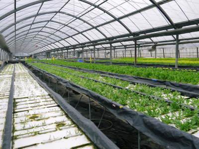 水耕栽培の生野菜を大好評販売中!さらなる高みを求め肥料改良!農薬や消毒を一切せずにてた各種生野菜です_a0254656_18442861.jpg