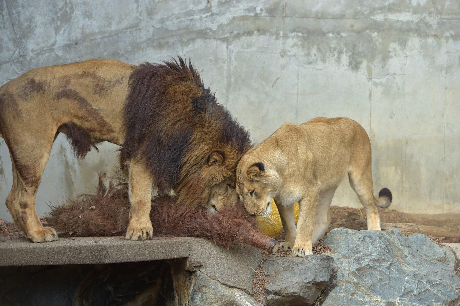 ライオンたち_b0023856_07263140.jpg