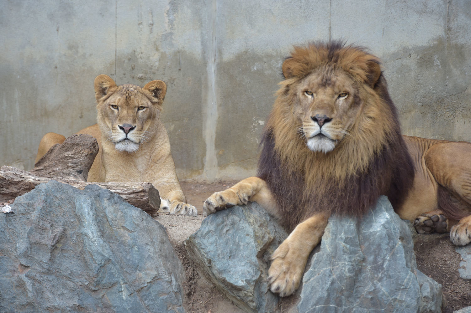 ライオンたち_b0023856_07264052.jpg