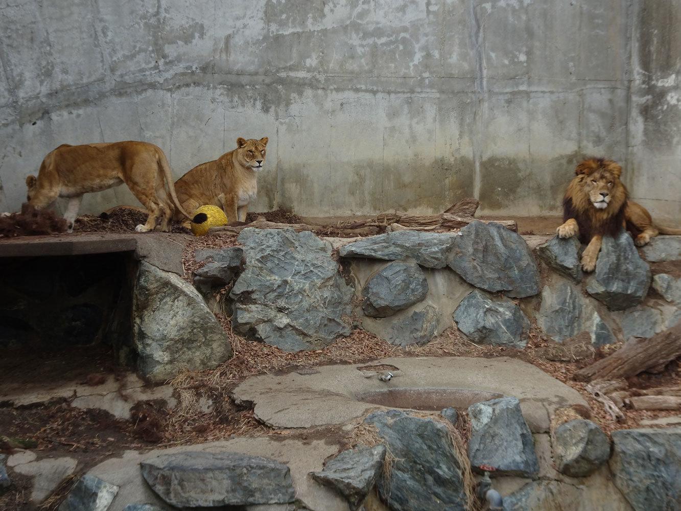 ライオンたち_b0023856_07281757.jpg