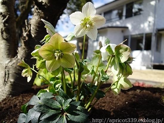 初春の庭しごと 雑草対策とクリスマスローズ_c0293787_13405371.jpg