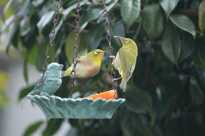 野鳥 メジロ_d0150720_16272104.jpg