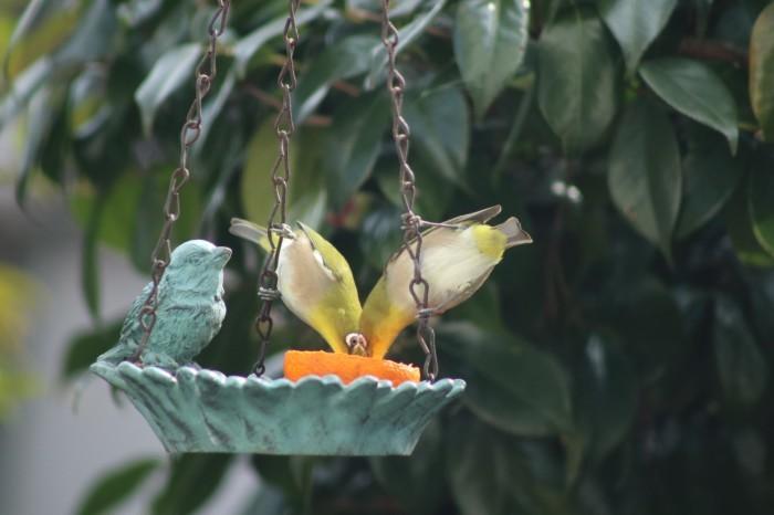 野鳥 メジロ_d0150720_16274215.jpg