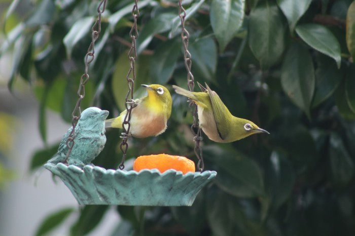 野鳥 メジロ_d0150720_16275711.jpg