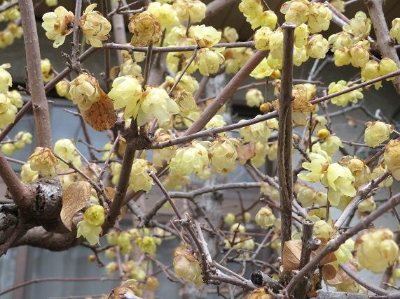 三色の梅と野鳩_b0089338_21212731.jpg