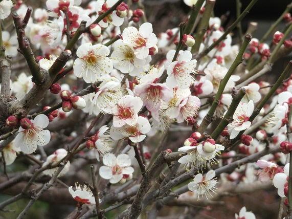 三色の梅と野鳩_b0089338_21214748.jpg