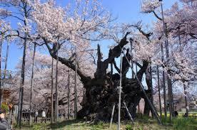 有名な神代桜とハイジの村と韮崎穂坂のマルスワイナリーをめぐるツアーを4月7日に予定しております。_b0151362_17545833.jpg
