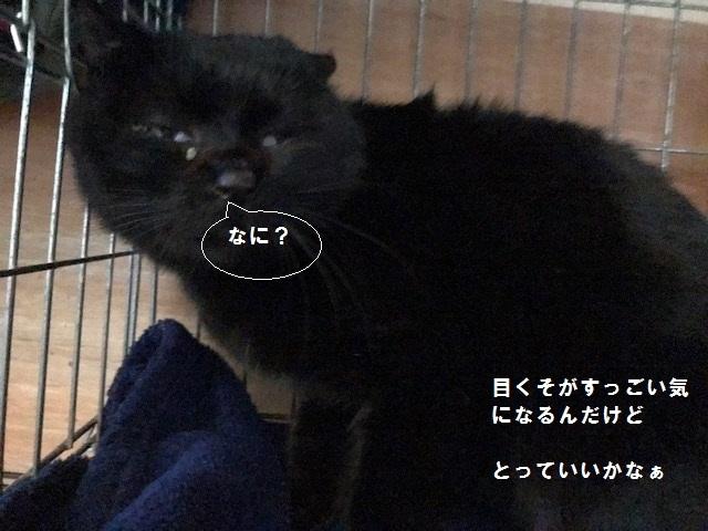 負傷収容のもう1匹の黒猫さん_f0242002_13210126.jpg