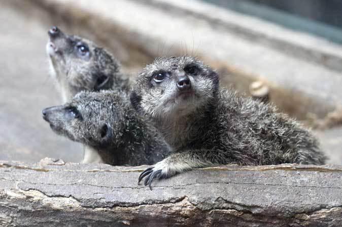 上野動物園・小獣館の動物たち~警戒ミーアキャットとツチブタ親子_b0355317_22150908.jpg