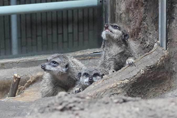 上野動物園・小獣館の動物たち~警戒ミーアキャットとツチブタ親子_b0355317_22173413.jpg