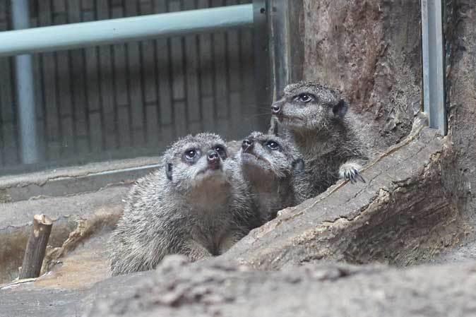 上野動物園・小獣館の動物たち~警戒ミーアキャットとツチブタ親子_b0355317_22181431.jpg
