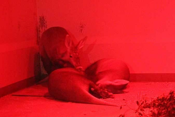 上野動物園・小獣館の動物たち~警戒ミーアキャットとツチブタ親子_b0355317_22265324.jpg