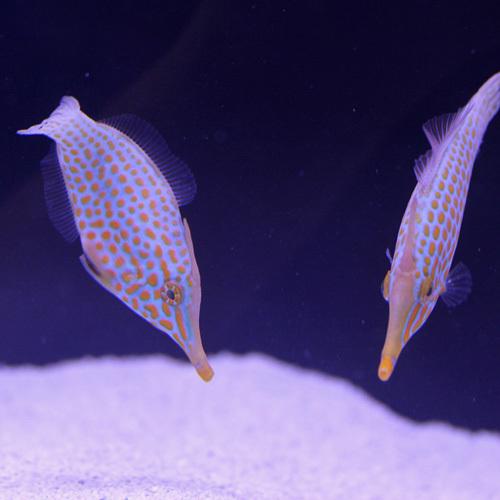 海水魚入荷~マニラ便~_d0221436_22520920.jpg