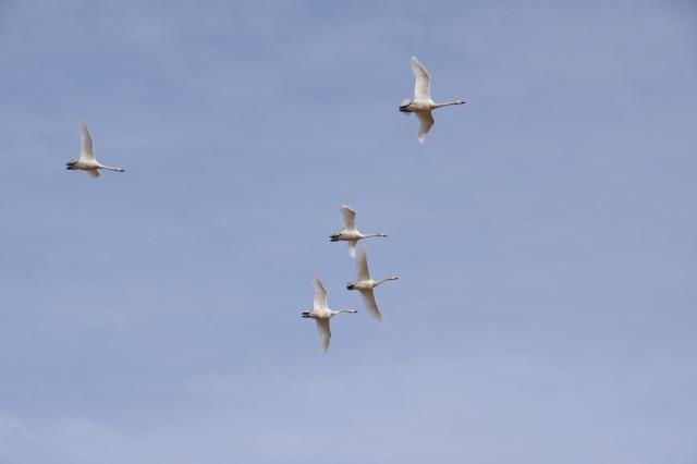 白鳥散歩_b0356401_21294062.jpg