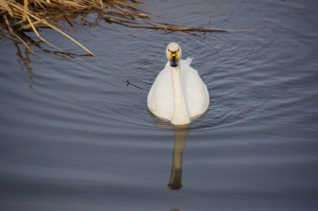 白鳥散歩_b0356401_21295179.jpg