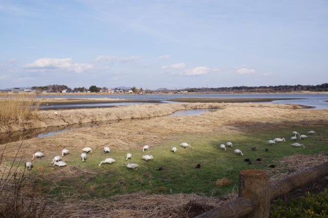 白鳥散歩_b0356401_21302388.jpg