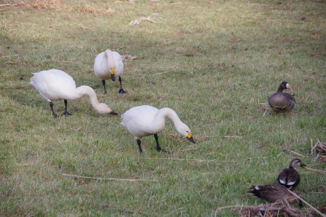 白鳥散歩_b0356401_21303080.jpg