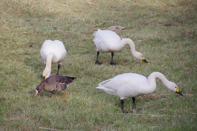 白鳥散歩_b0356401_21304573.jpg