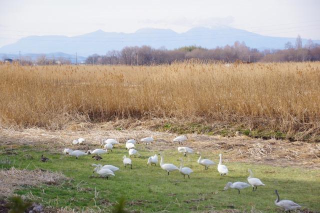 白鳥散歩_b0356401_21305190.jpg