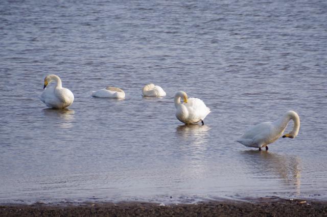 白鳥散歩_b0356401_21310024.jpg