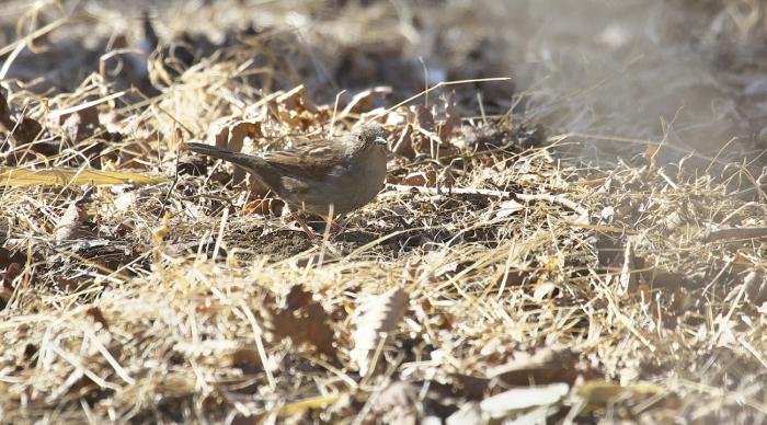 地味な鳥 カヤクグリ_c0217255_05552826.jpg