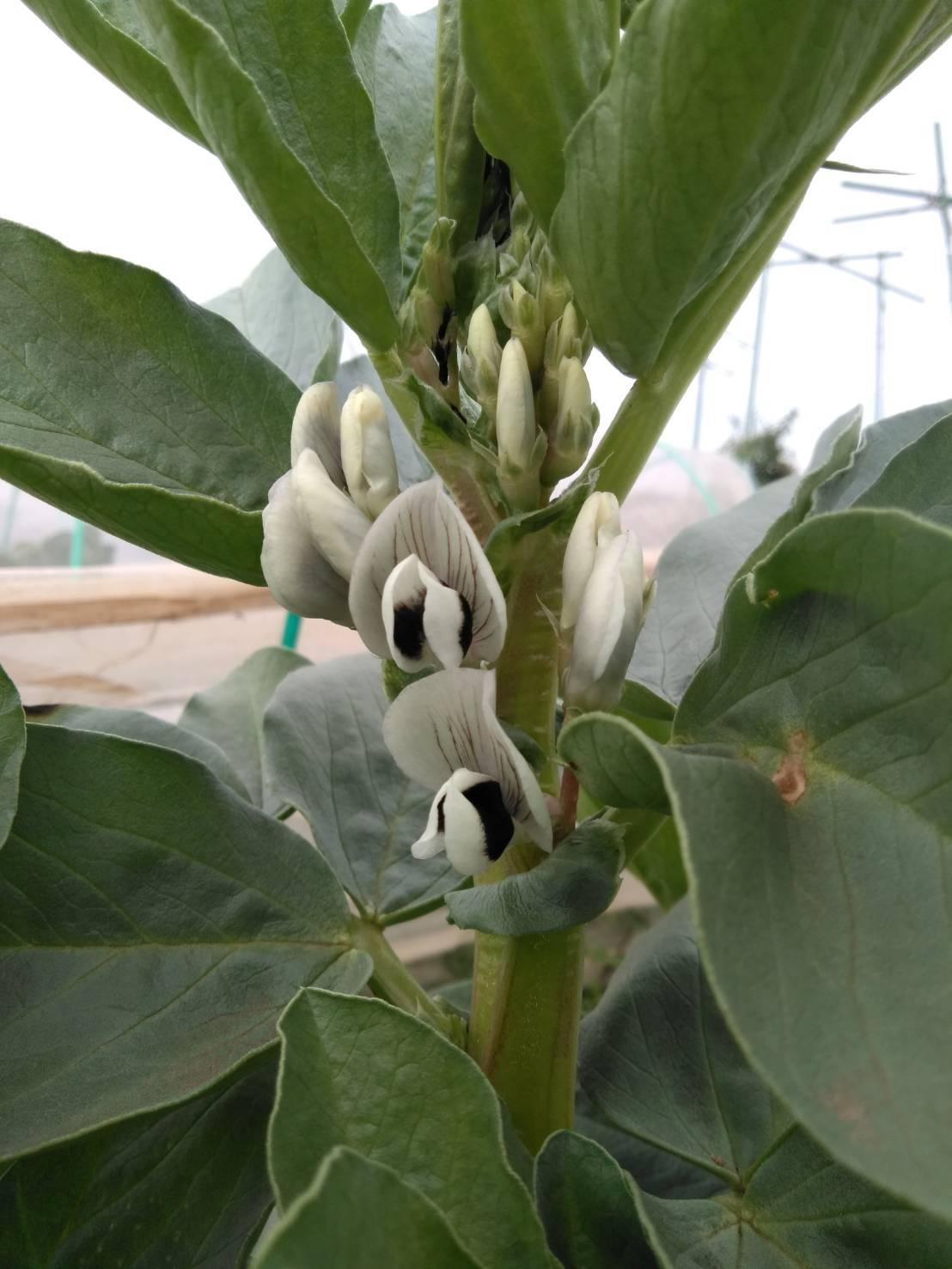 少し気温上がりました ほっとしています蚕豆の花咲いてきました_c0222448_18165821.jpg