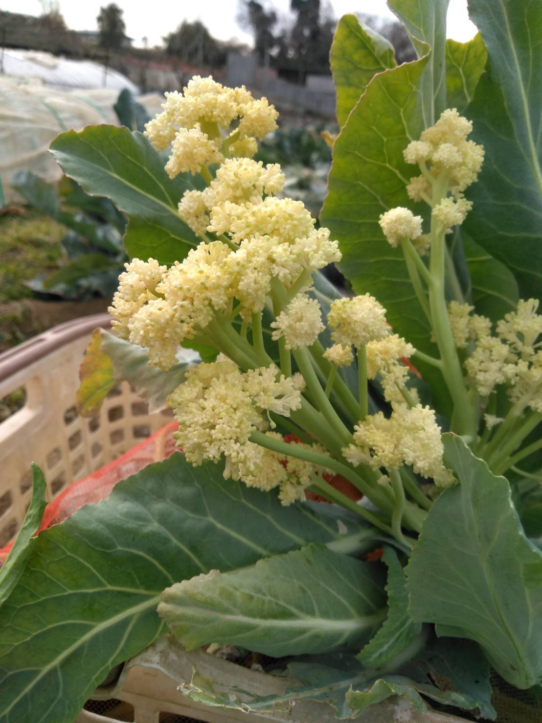 少し気温上がりました ほっとしています蚕豆の花咲いてきました_c0222448_18172633.jpg