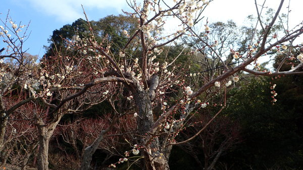 和歌浦天満宮 梅が咲きました_c0367107_12052981.jpg
