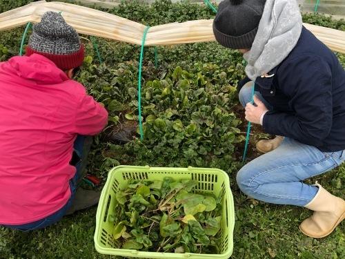 今朝は 芽キャベツ 人参 蕪 ほうれん草 カーヴォロネーロ ブロッコリーの収穫_c0222448_11515530.jpg
