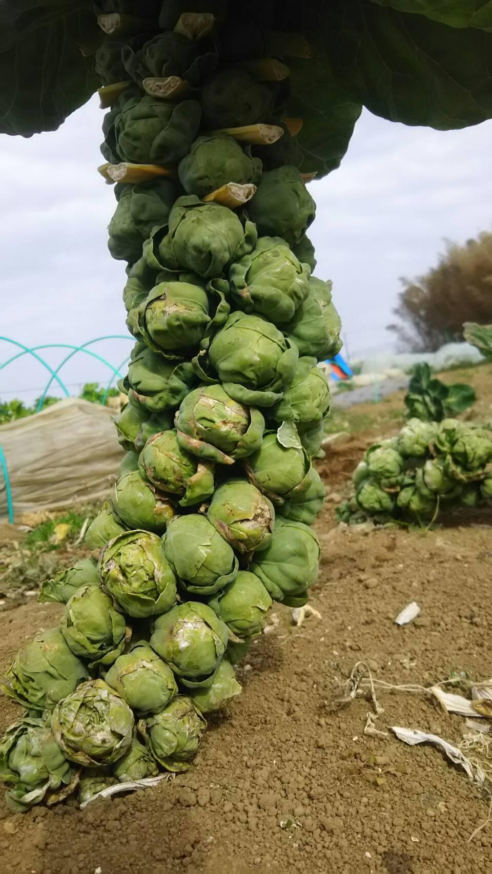 今朝は 芽キャベツ 人参 蕪 ほうれん草 カーヴォロネーロ ブロッコリーの収穫_c0222448_11530969.jpg