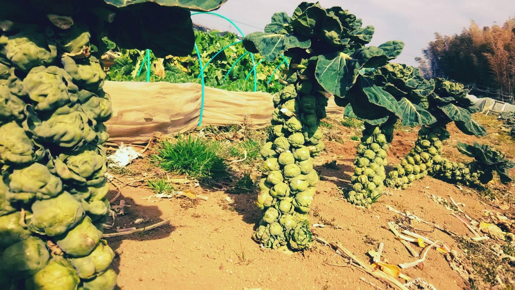 今朝は 芽キャベツ 人参 蕪 ほうれん草 カーヴォロネーロ ブロッコリーの収穫_c0222448_11535207.jpg
