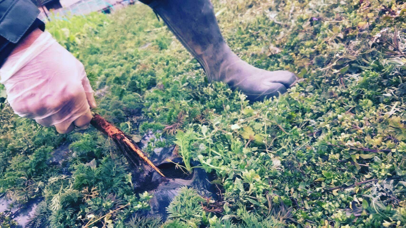 今朝は 芽キャベツ 人参 蕪 ほうれん草 カーヴォロネーロ ブロッコリーの収穫_c0222448_11542854.jpg