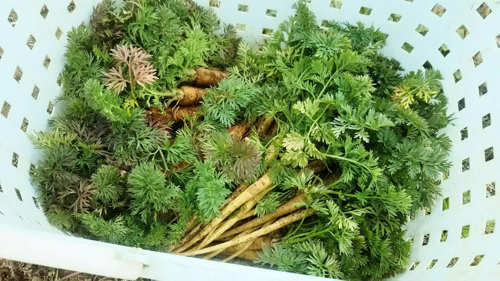 今朝は 芽キャベツ 人参 蕪 ほうれん草 カーヴォロネーロ ブロッコリーの収穫_c0222448_11545692.jpg