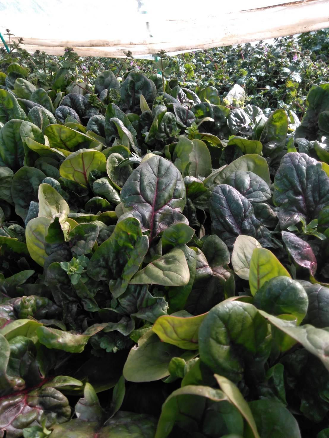 今朝は 芽キャベツ 人参 蕪 ほうれん草 カーヴォロネーロ ブロッコリーの収穫_c0222448_11574715.jpg