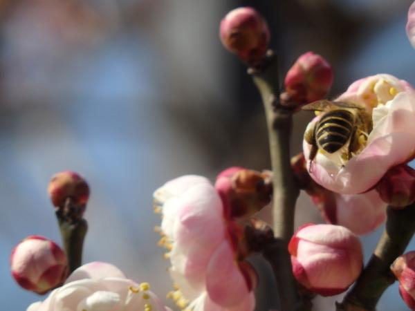 梅とミツバチ_f0337554_21063983.jpg