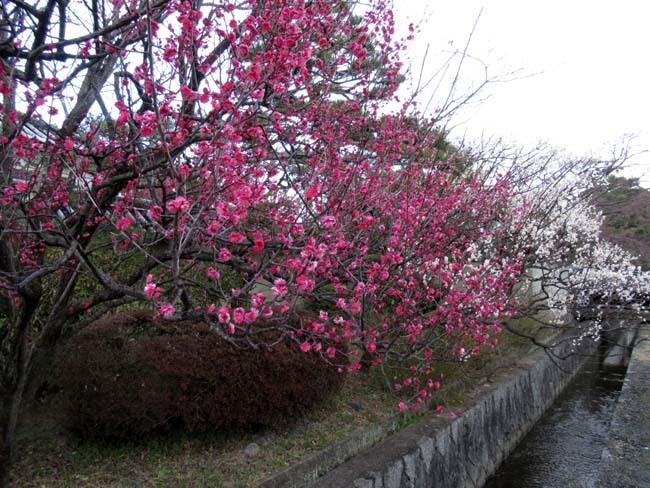 梅宮大社 梅が咲き始めた_e0048413_16025321.jpg