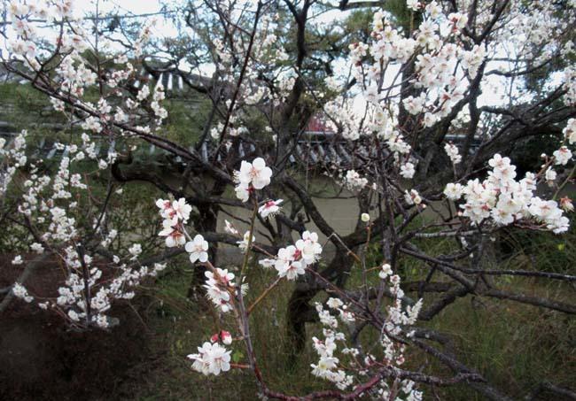 梅宮大社 梅が咲き始めた_e0048413_16031267.jpg
