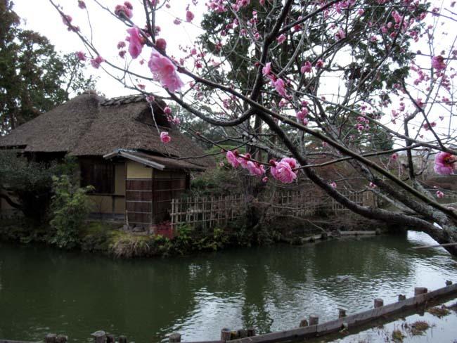 梅宮大社 梅が咲き始めた_e0048413_16031500.jpg