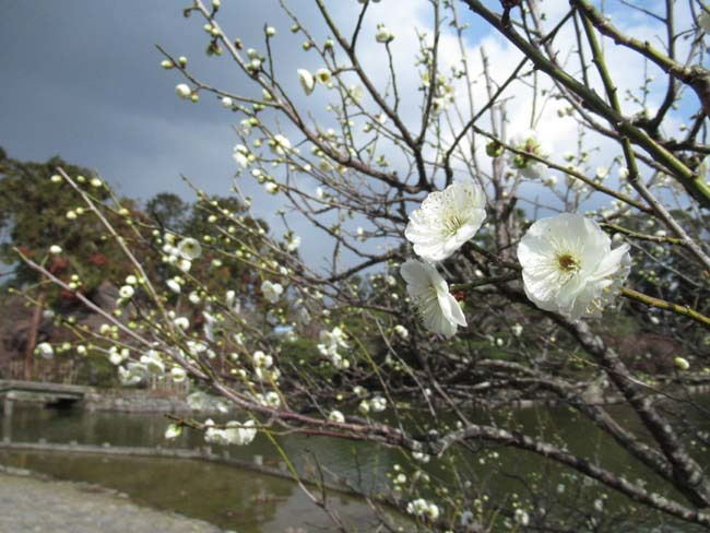 梅宮大社 梅が咲き始めた_e0048413_16032531.jpg